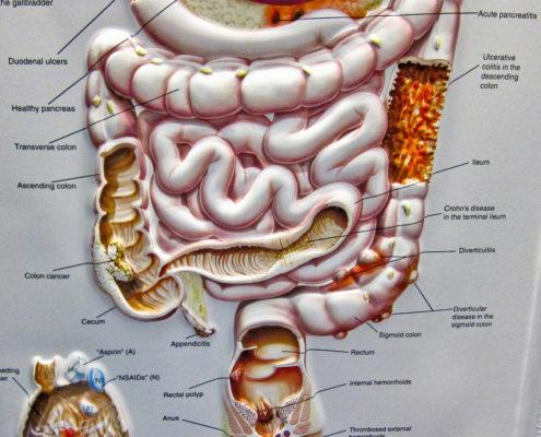 human colon